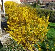 L'incontournable Forsythia